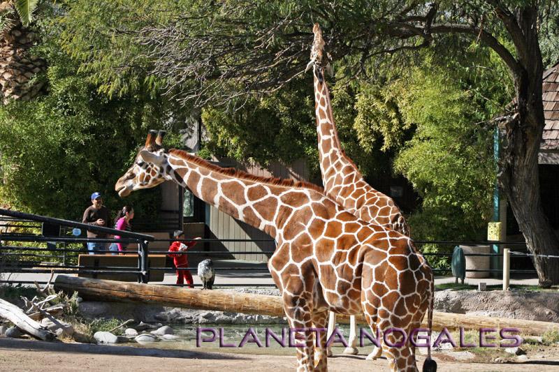tucson zoo girafas